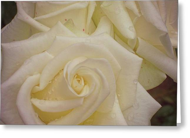 Alabaster Roses Greeting Card by JAMART Photography