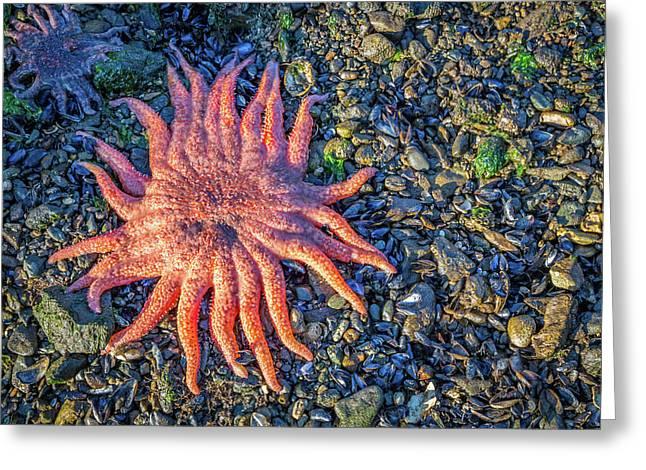 Alaska Starfish Greeting Card by Wild Montana Images