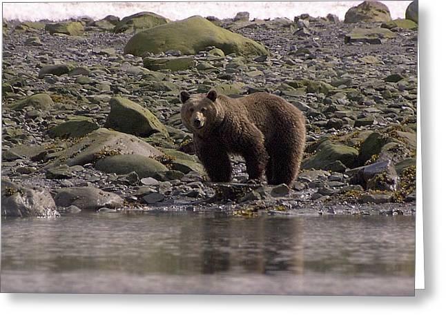 Alaskan Brown Bear Dining On Mollusks Greeting Card