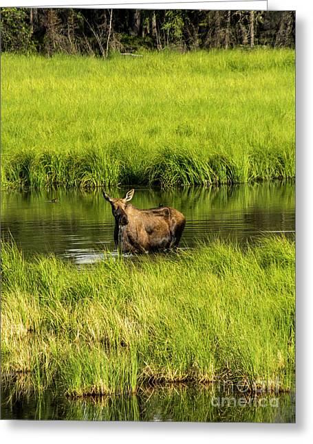 Alaskan Moose Greeting Card