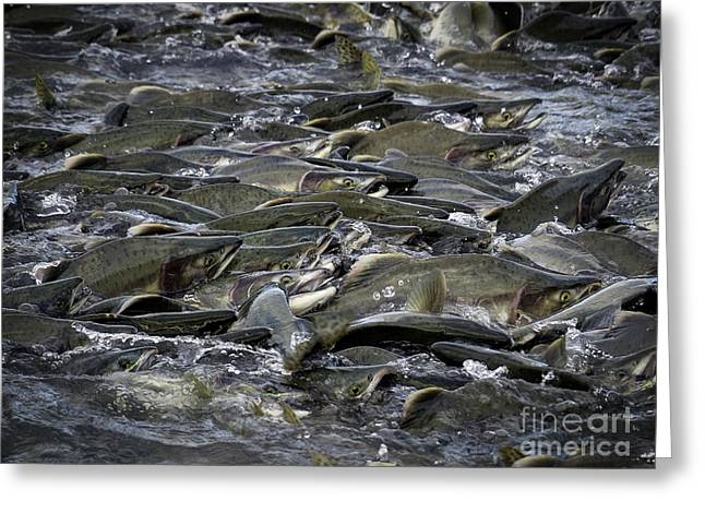 Alaskan Pink Salmon Run Greeting Card