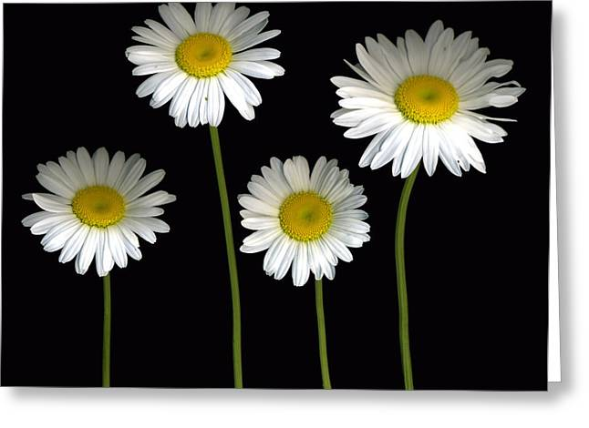 Alaskan Shasta Daisies Greeting Card by Deborah J Humphries