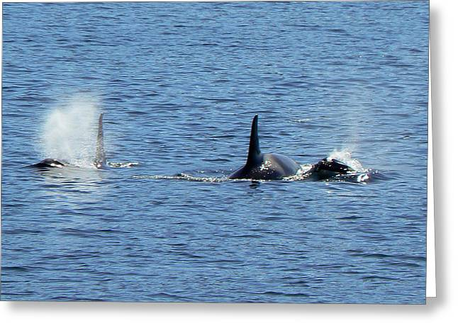 Greeting Card featuring the photograph Alaska.orcas by Sergey and Svetlana Nassyrov