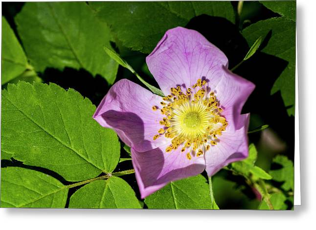 Greeting Card featuring the photograph Alberta Wild Rose Opens For Early Sun by Darcy Michaelchuk