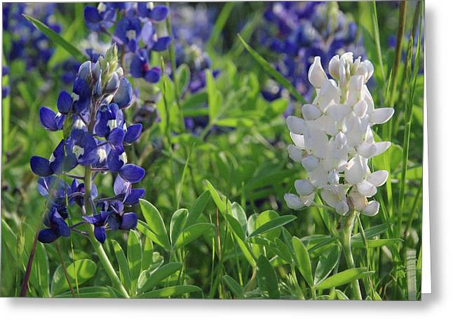 Albino And Blue Bluebonnet Greeting Card by Robyn Stacey