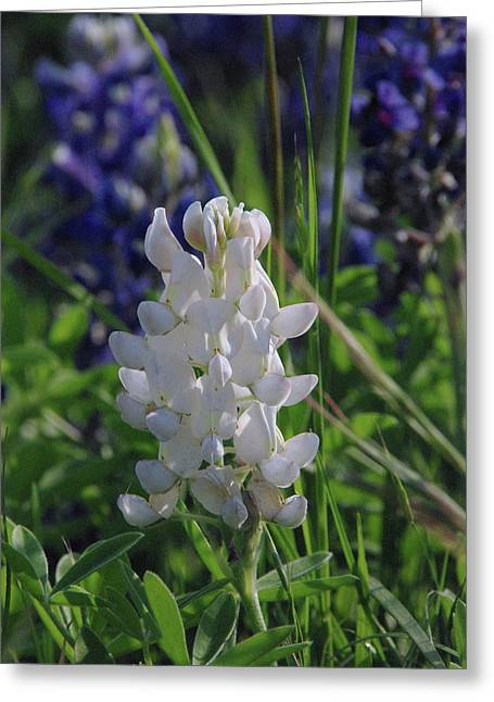 Albino Bluebonnet Greeting Card by Robyn Stacey