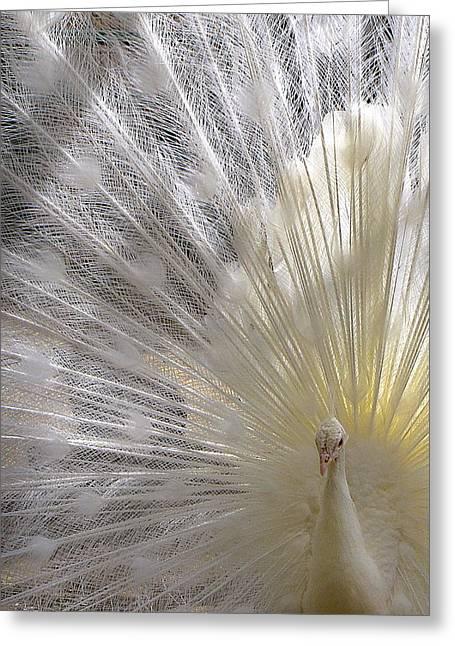 Fancy-full Greeting Cards - Albino Peacock Greeting Card by Lori Pessin Lafargue