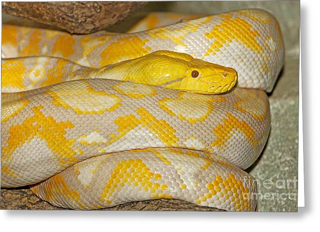 Albino Reticulated Python Greeting Card by Gerard Lacz