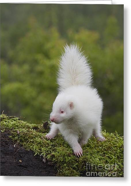 Albino Striped Skunk  Greeting Card