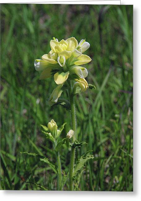 Albino Texas Paintbrush Greeting Card by Robyn Stacey