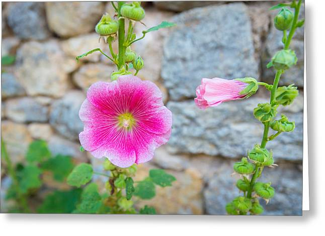 Alcea Rosea Is Known As Common Hollyhock Greeting Card by Semmick Photo