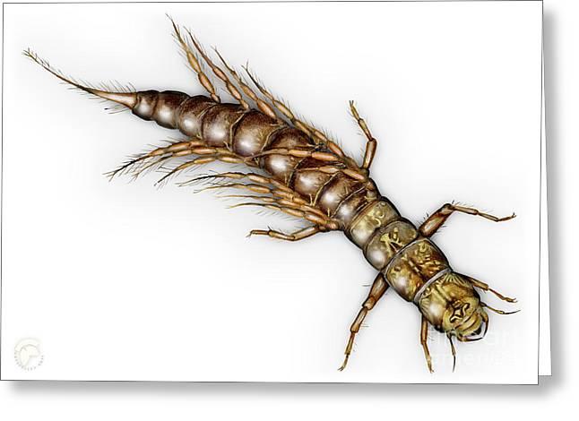Alderfly Sialis Lutaria Larva Nymph -  Sialis De La Vase - Mudde Greeting Card by Urft Valley Art