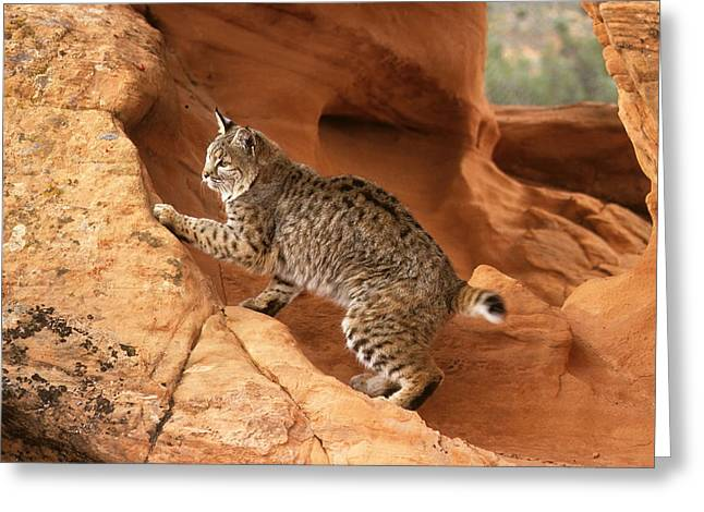 Alert Bobcat Greeting Card by Larry Allan