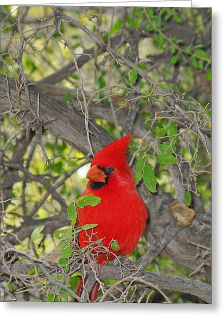 Alert Cardinal Greeting Card by Elvira Butler