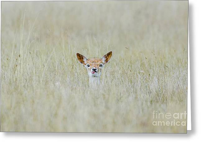 Alert Fallow Deer Fawn - Dama Dama - Laying Long In The Long Grass Greeting Card