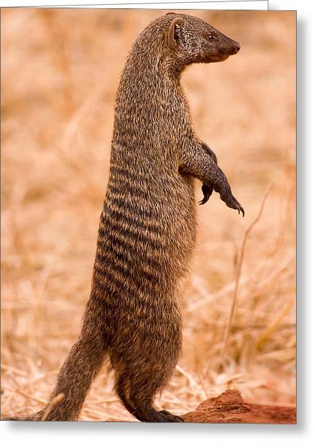 Alert Mongoose Greeting Card by Adam Romanowicz
