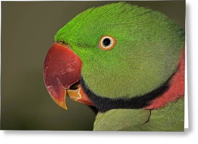 Greeting Card featuring the photograph Alexandrine Parakeet by JT Lewis