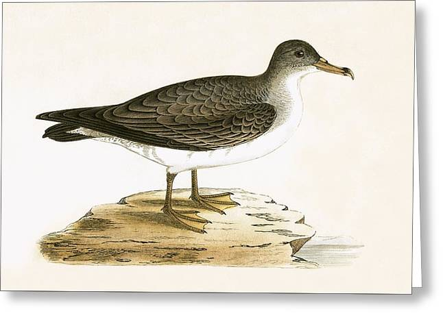Algerian Cinereous Shearwater Greeting Card by English School