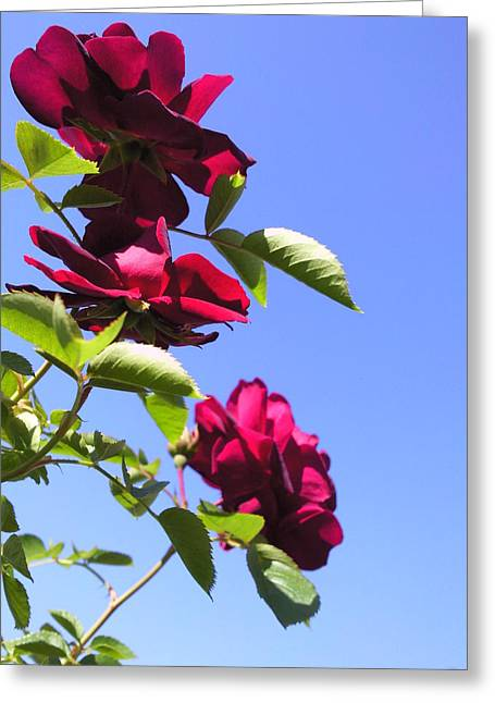 All About Roses And Blue Skies Vii Greeting Card by Daniel Henning