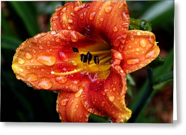 All Wet Lily Greeting Card by Paul Anderson