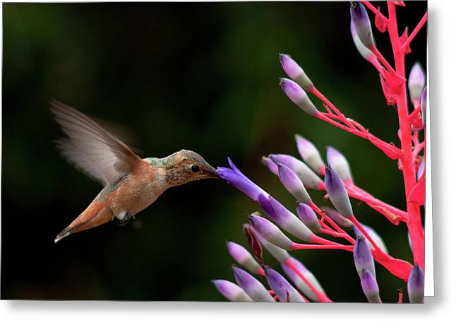 Allen's Hummingbird At Breakfast Greeting Card by Mike Herdering