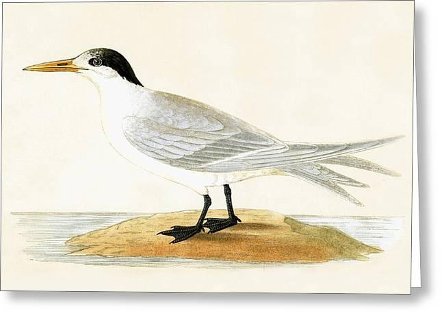 Allied Tern Greeting Card by English School