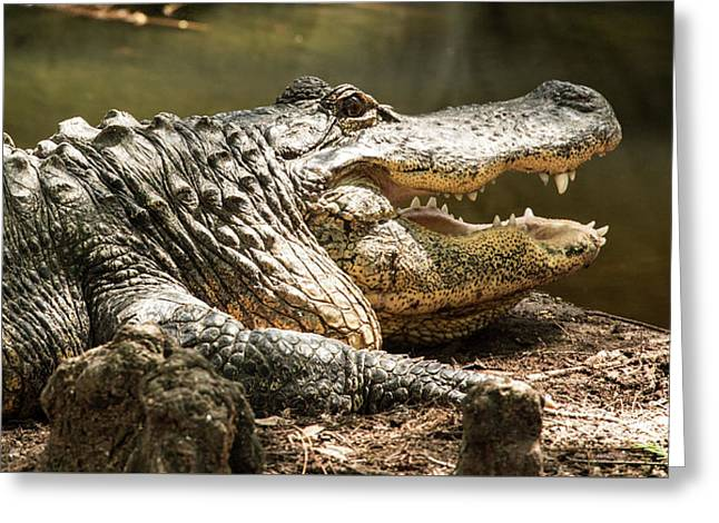 Greeting Card featuring the photograph Alligator At Lowry Park Zoo by Richard Goldman