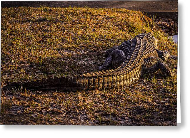 Alligator From The Rear Greeting Card