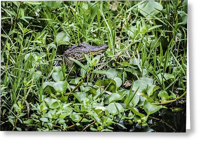 Alligator In Duck Weed, Louisiana Greeting Card