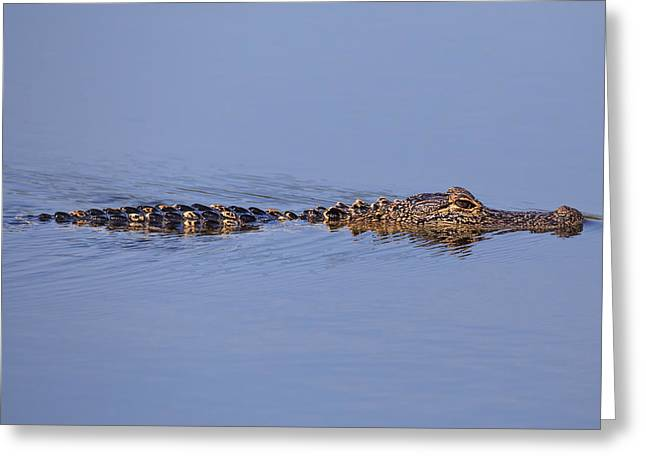 Greeting Card featuring the photograph Alligator by Paul Schultz