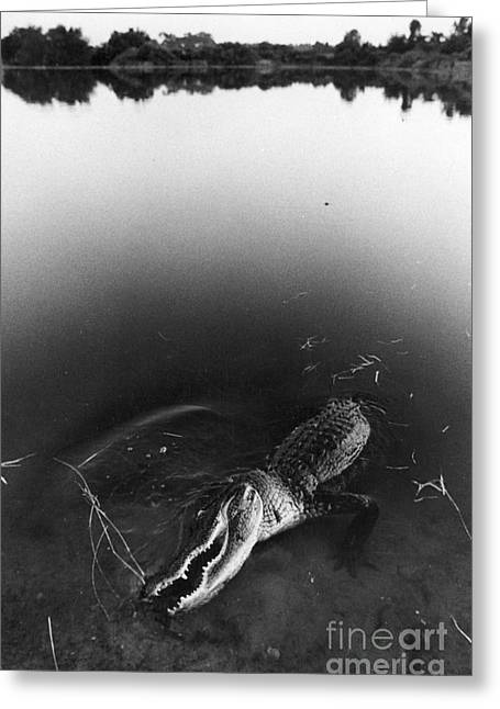 Alligator1 Greeting Card by Jim Wright