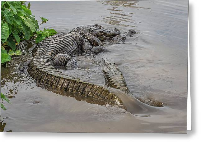 Alligators Courting Greeting Card