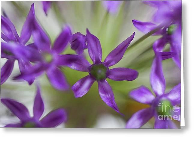 Allium Aflatunense Greeting Card