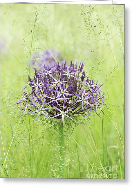 Allium Christophii Greeting Card