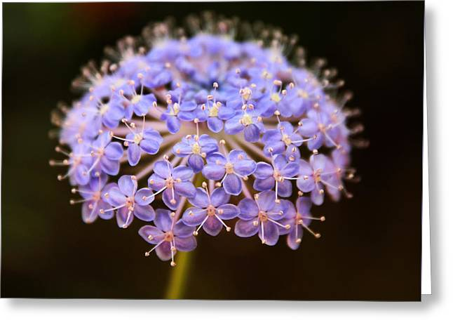 Allium Floral Greeting Card by Jessica Jenney