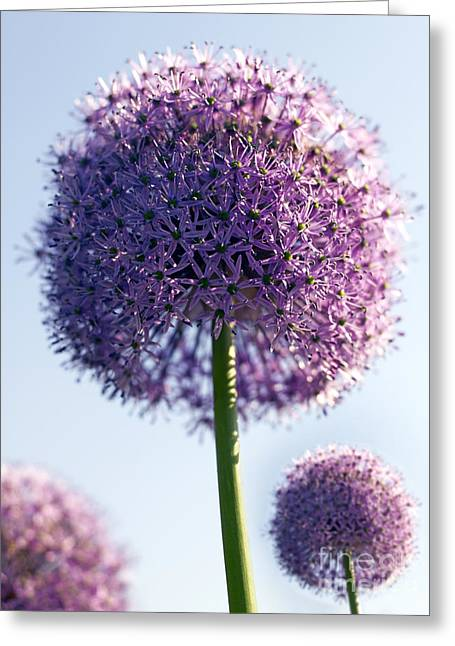 Allium Flower Greeting Card by Tony Cordoza