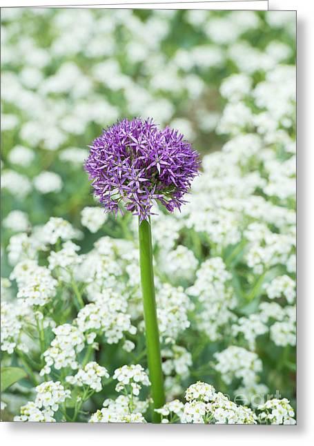 Allium Globemaster Opening Greeting Card