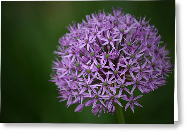 Allium Greeting Card