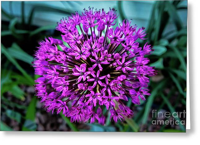 Allium Greeting Card by Robert Bales