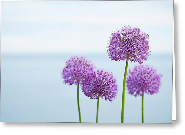 Alliums 1 Greeting Card