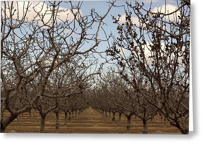 Almond Orchard Greeting Card by Denice Breaux