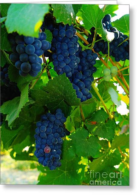 Grape Vineyard Greeting Cards - Almost Ready For Harvest  Greeting Card by Jeff  Swan