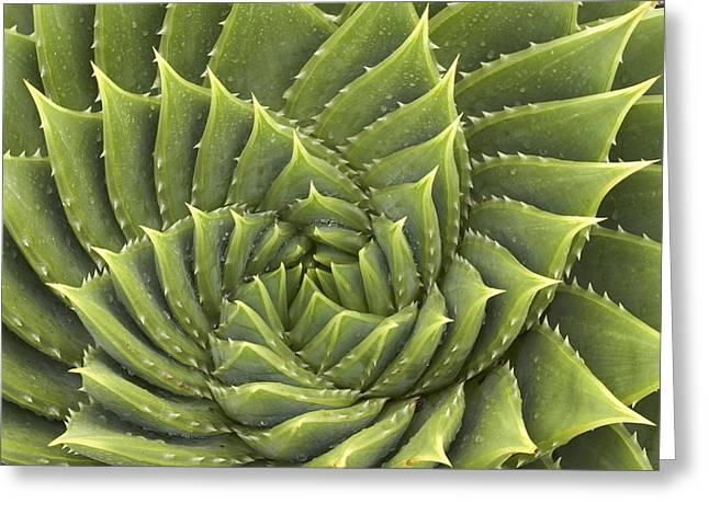 Aloe Polyphylla Greeting Card by Geoff Bryant