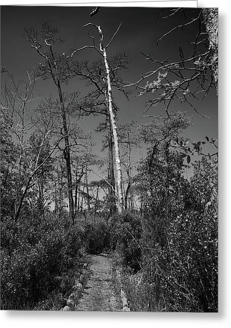 Alone Among The Trees Greeting Card by Tom Bonhardt