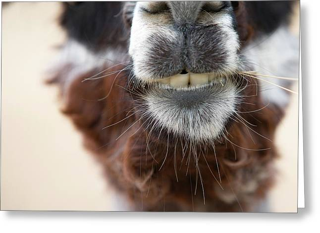 Alpaca #1 Greeting Card