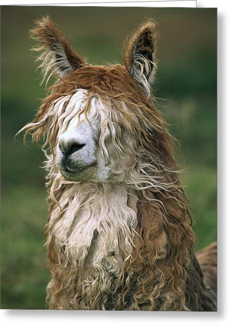 Alpacas Greeting Cards - Alpaca Lama Pacos Altiplano, Bolivia Greeting Card by Pete Oxford