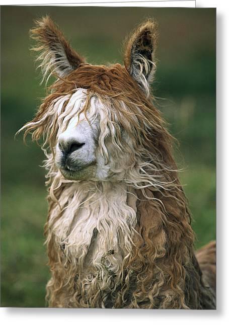 Alpaca Lama Pacos Altiplano, Bolivia Greeting Card by Pete Oxford