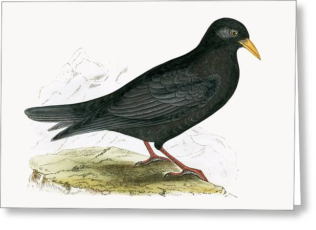 Alpine Chough Greeting Card by English School
