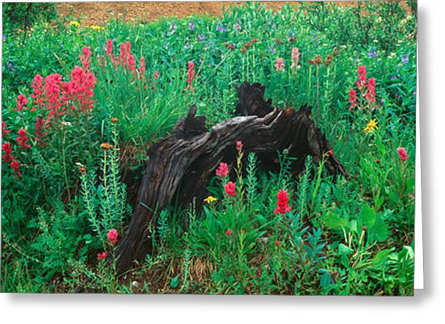 Alpine Flowers In Yankee Boy Basin Greeting Card by Panoramic Images