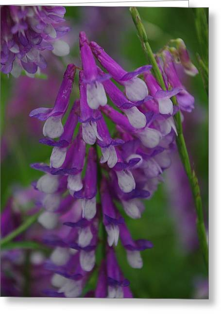 Alpine Vetch 2 Greeting Card by Robyn Stacey